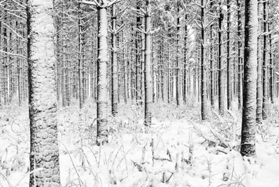 Tress Covered In Snow - Kettle Moraine State Forest (Wisconsin)